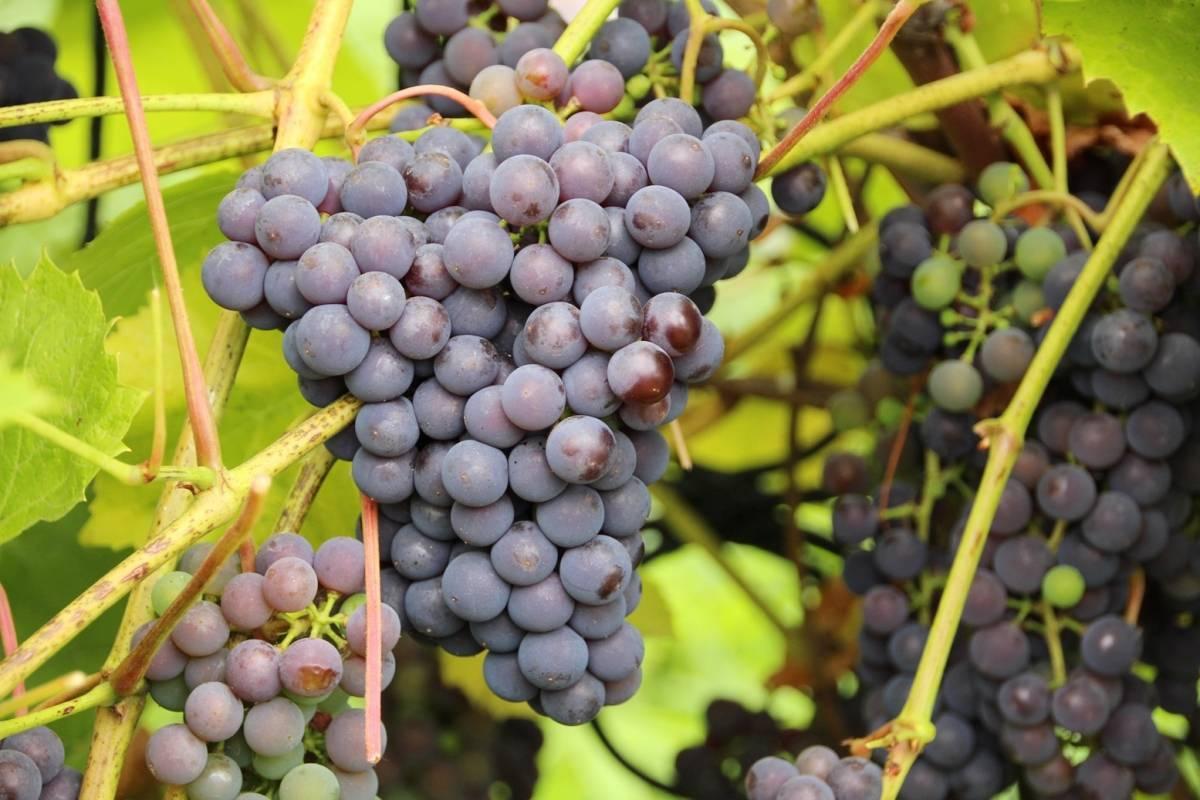 Виноград изабелла - описание сорта, фото