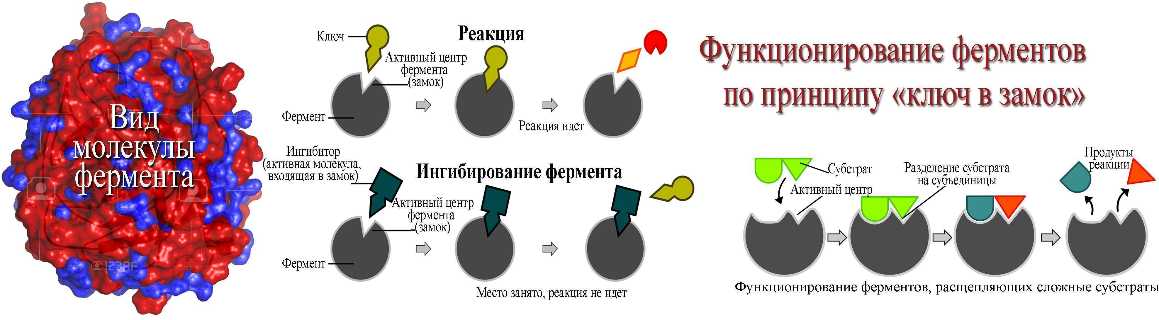 Фермент расщепляющий алкоголь в организме человека: как называется и принцип действия