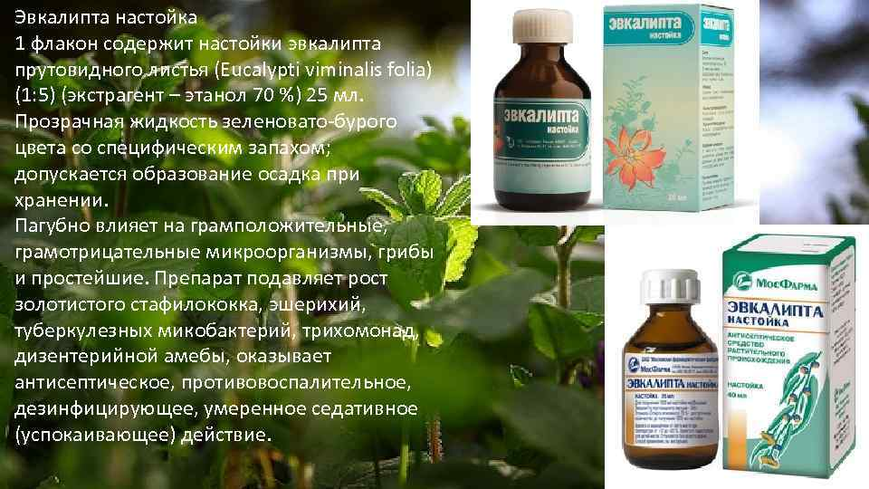 Эвкалипт: лечебные свойства и противопоказания, применение