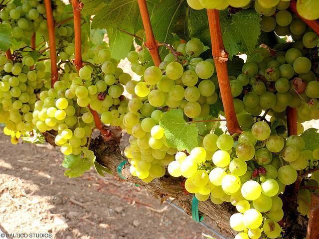 Виноград шардоне: объясняем досконально