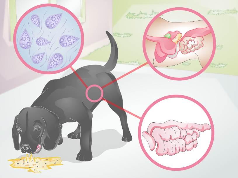 Рвота с кровью у собаки: что делать, причины, методы лечения в домашних условиях
