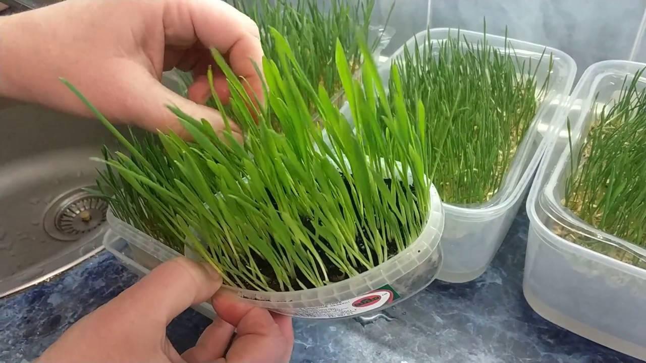 Пророщенная пшеница: полезно, вкусно и очень эффективно. как прорастить в домашних условиях