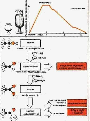 Фермент расщепляющий алкоголь в организме человека: как называется и принцип действия. как ведет себя алкоголь в организме
