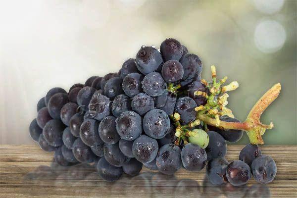 Виноград изабелла: описание сорта, фото, уход