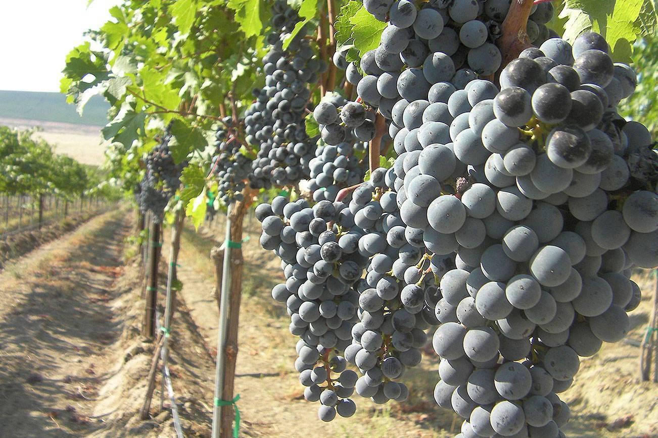 Сира (шираз) – красное вино от франции до австралии