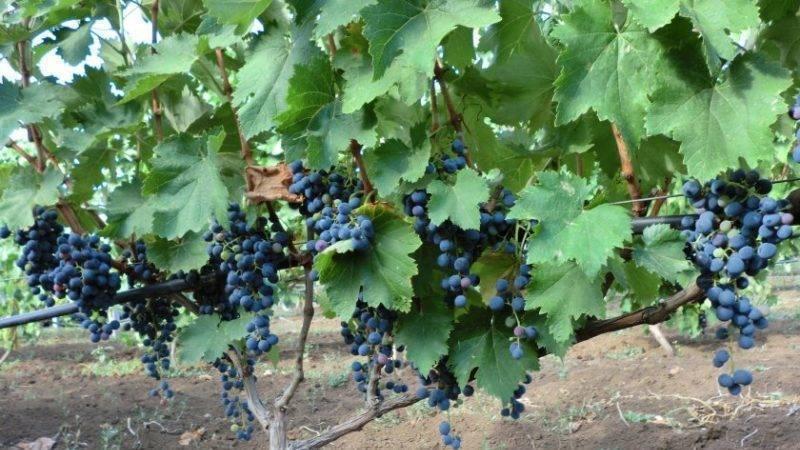 В крыму известно порядка 110 уникальных аборигенных сортов винограда | крымский виноград