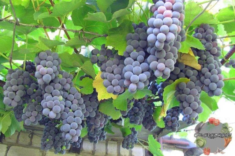 Виноград изабелла: описание сорта и его характеристики, история селекции и регионы выращивания, болезни и вредители, фото
