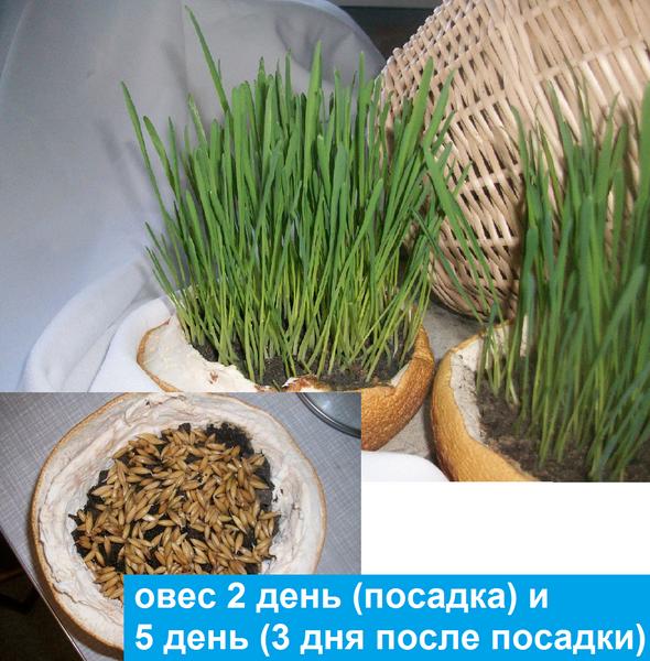 Как прорастить пшеницу дома: 6 простых шагов противостоять раку