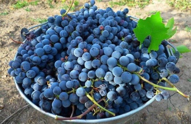 Виноград изабелла - описание сорта, фото, особенности выращивания