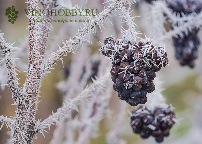 Что такое айсвайн? все самое интересное о ледяном вине