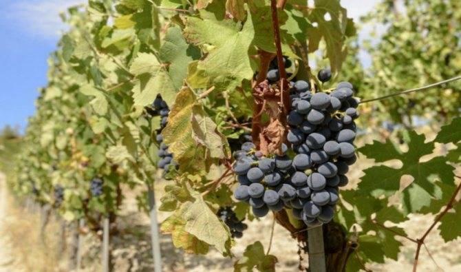 Сорт виноград изабелла — описание, фото, отзывы, видео. |
