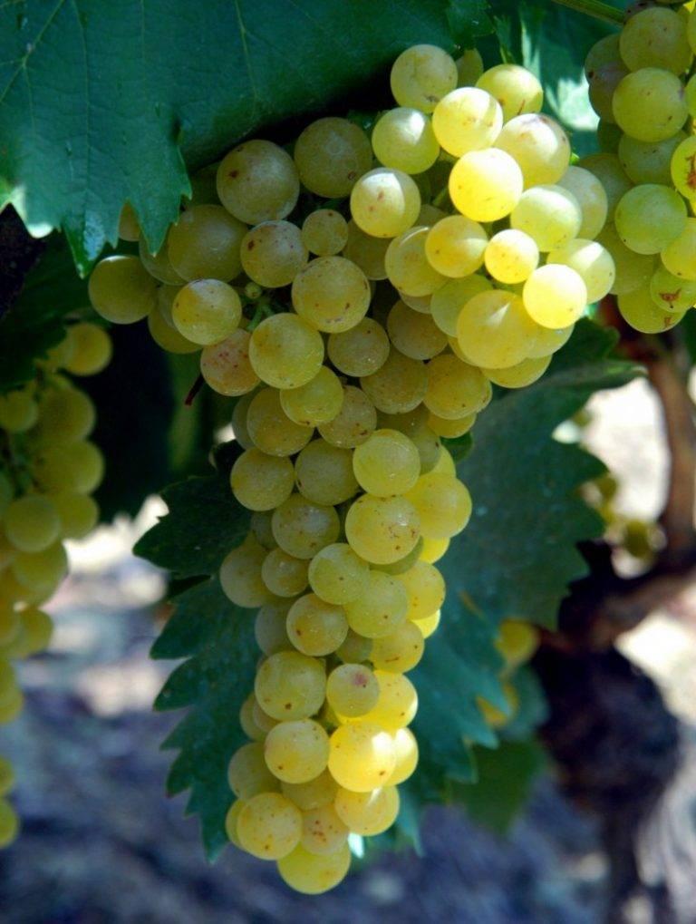 Сорта винограда для вина - винные сорта в условиях холодного климата + видео