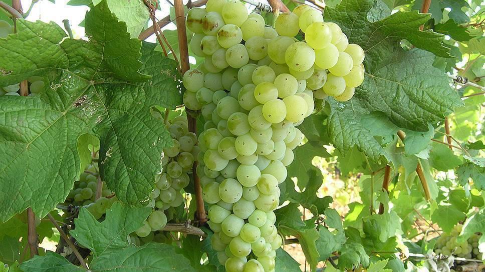 В крыму возрождают автохтонные сорта винограда, выведенные на полуострове