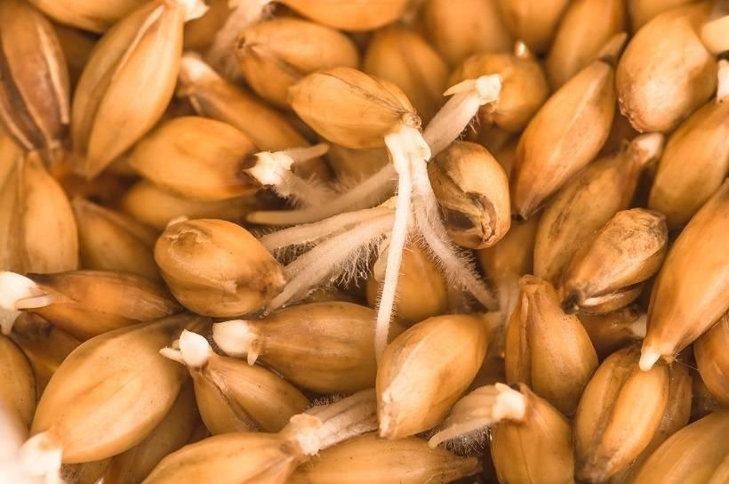Как сделать ржаной, пшеничный, ячменный солод в домашних условиях своими руками