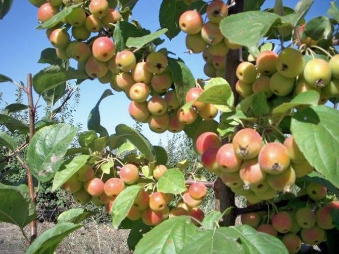 Рецепт приготовление яблочного домашнего вина из ранеток