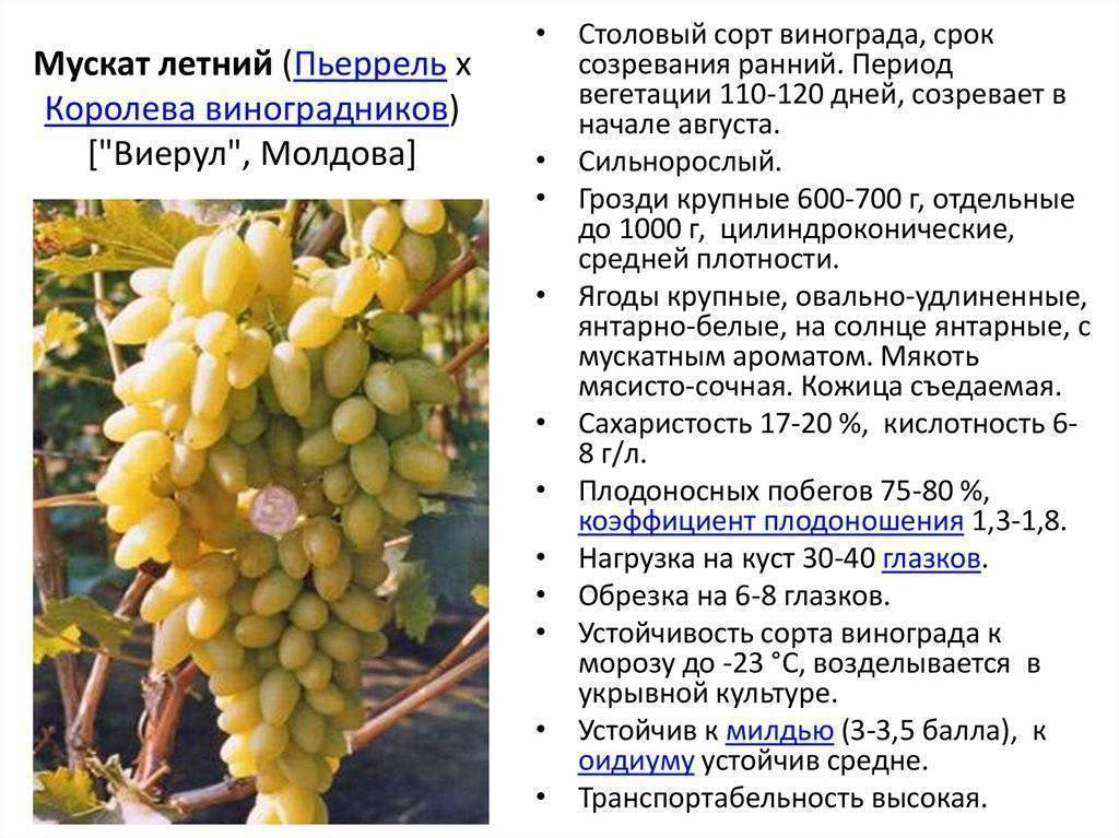 Винные сорта винограда: описания, фото, советы по посадке и уходу