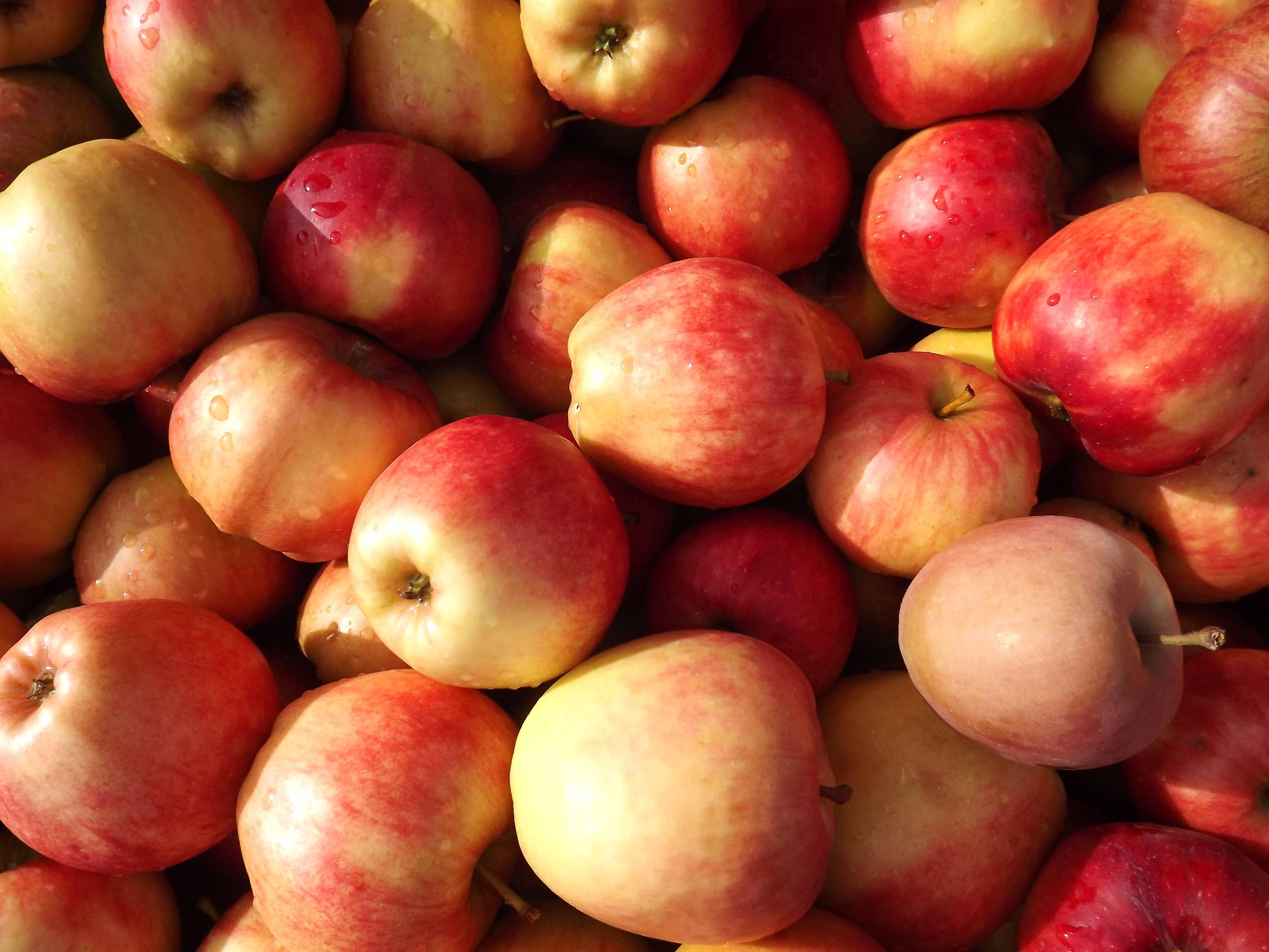 Брага из яблок: рецепт для самогона