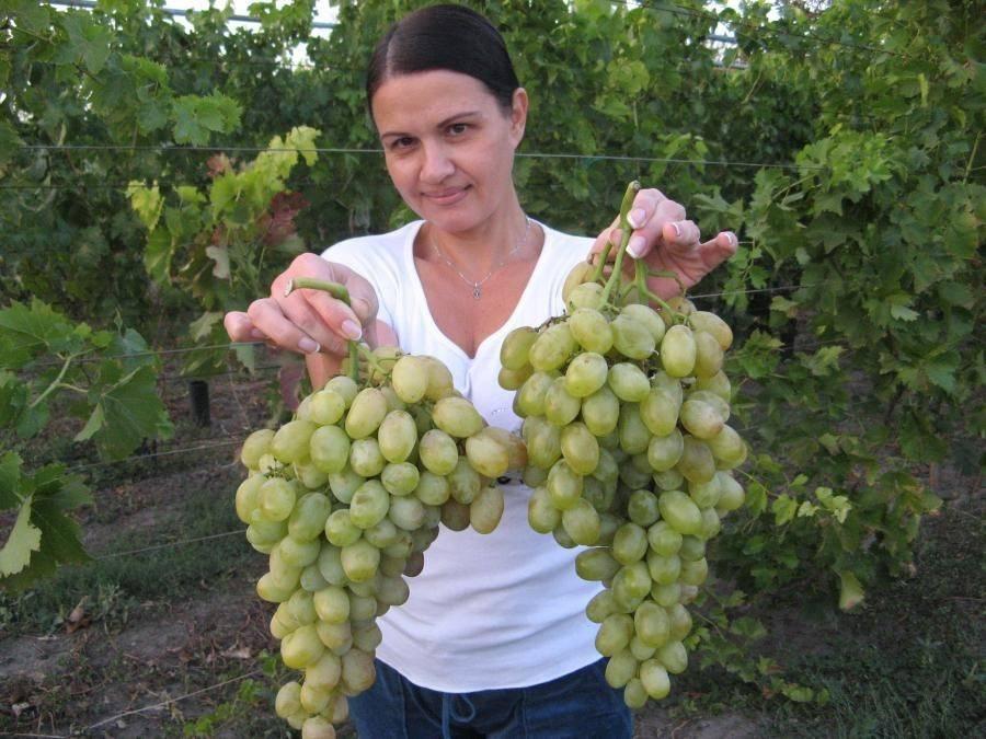 Сорта винограда для крыма - винные и столовые сорта, особенности выращивания винограда на крымском полуострове