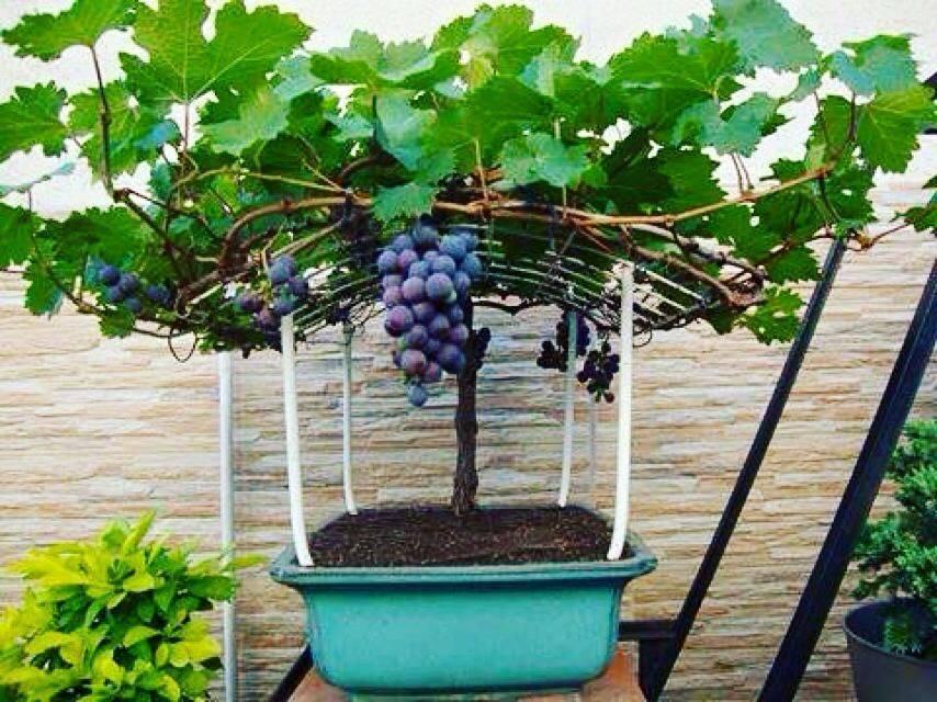 Как вырастить виноград - правила выращивания в открытом грунте, посадка и уход, инструкции для новичков
