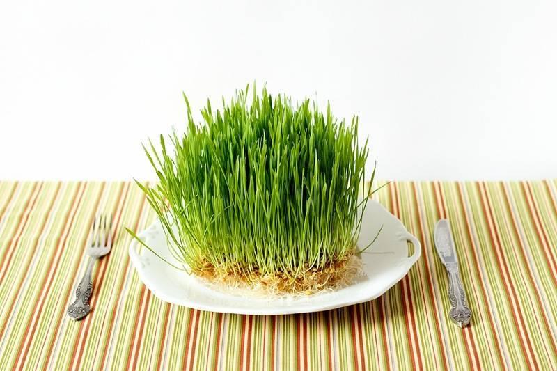 Пророщенная пшеница: как употреблять и проращивать зерна в домашних условиях