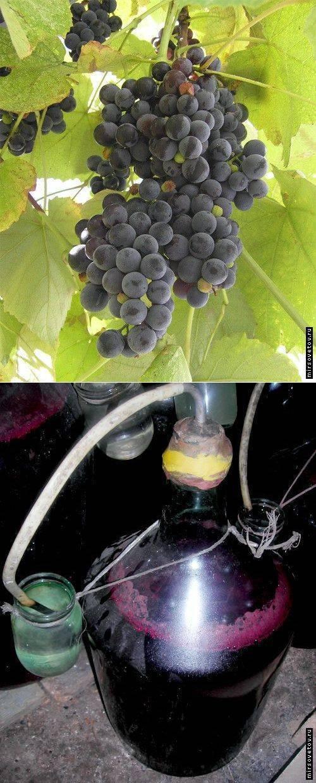 Вино из листьев винограда в домашних условиях: простой рецепт