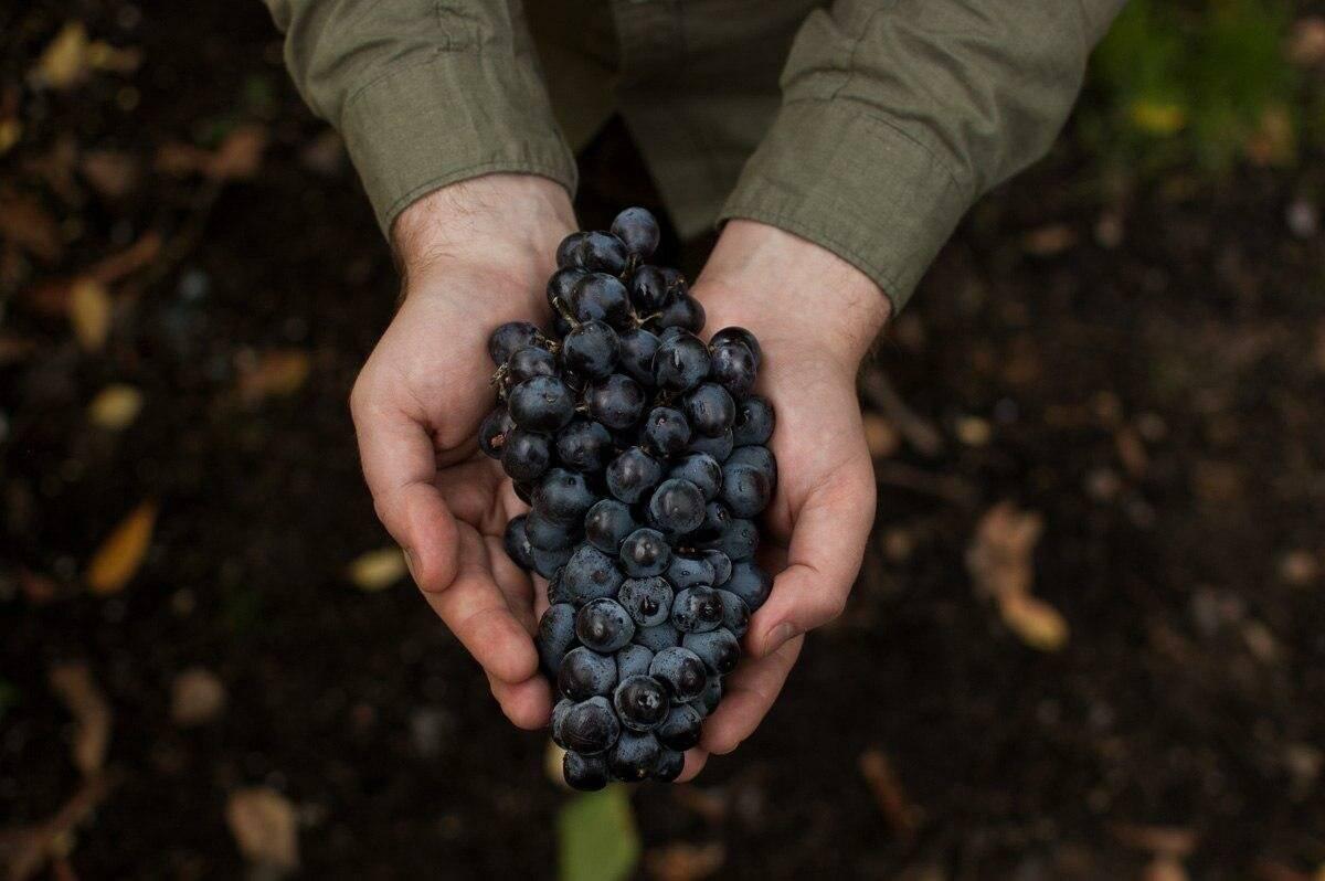 Автохтонный сорт винограда что это
