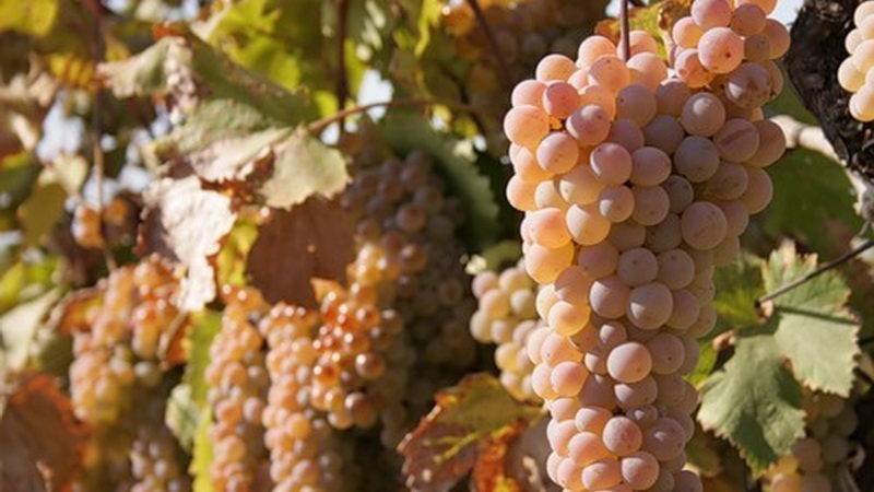 Что такое автохтонные сорта винограда и какие из них самые популярные