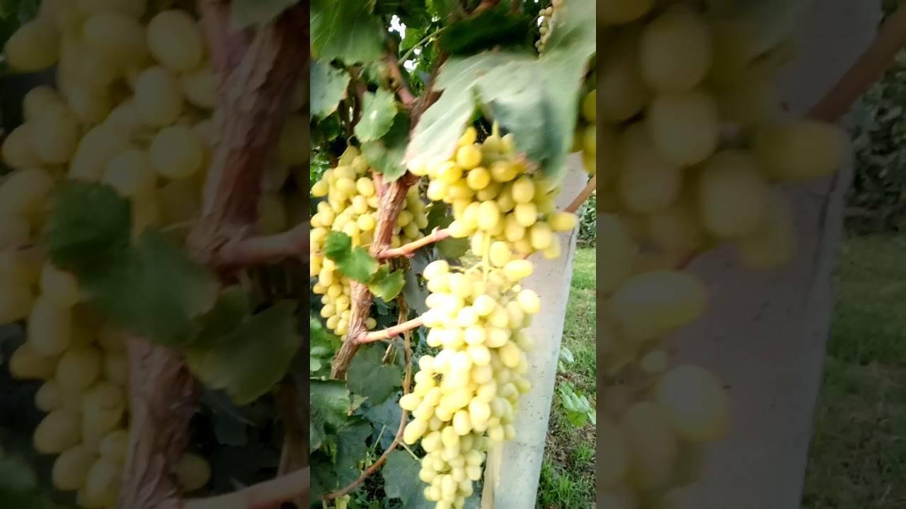 Обрезка винограда: веерная формировка куста и схемы по годам. как правильно проводить подвязку, сколько оставлять почек и когда лучше делать весной или осенью?