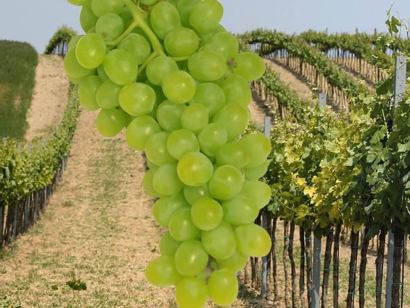 Сорта винограда используемые для виноделия