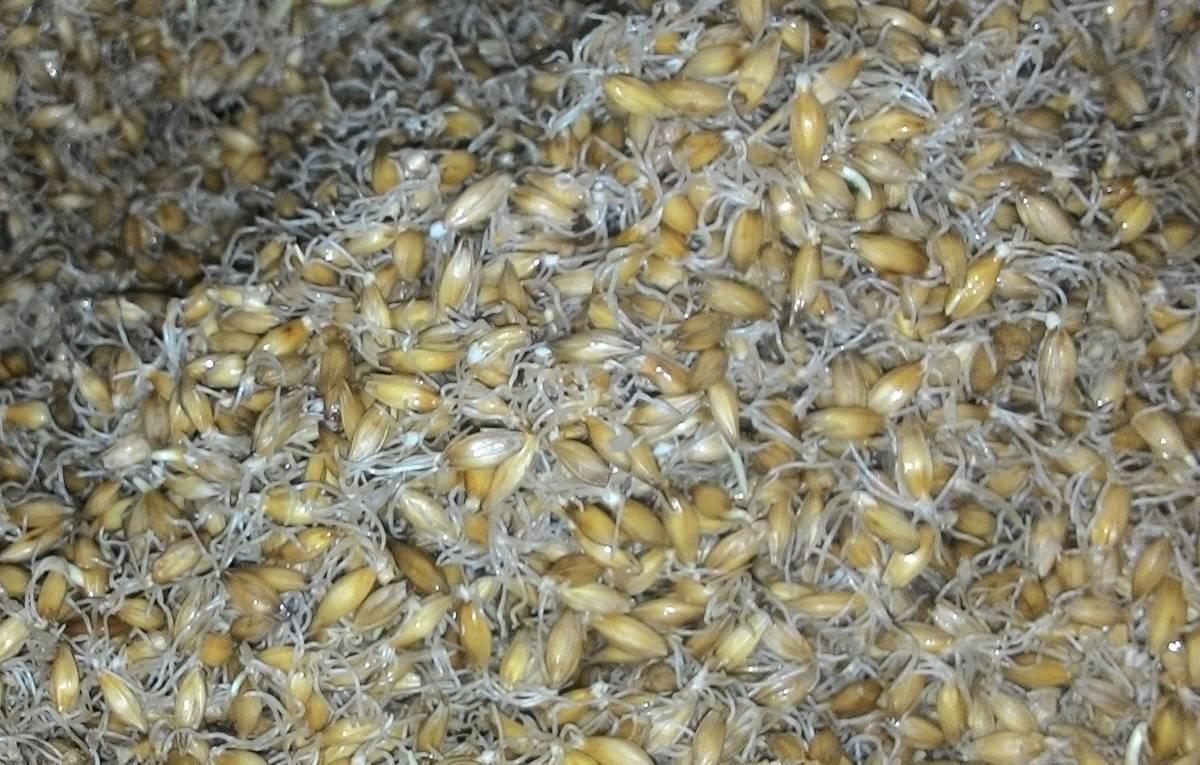Брага из пшеницы – классика самогоноварения