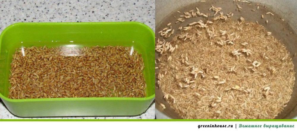 Выращивание пшеницы: особенности посадки и ухода