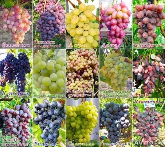Что такое автохтонные сорта винограда и зачем они нужны