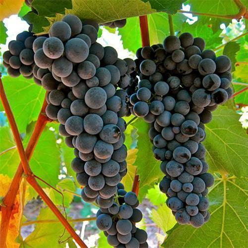 Какие винные сорта винограда лучше выбрать | в саду (огород.ru)