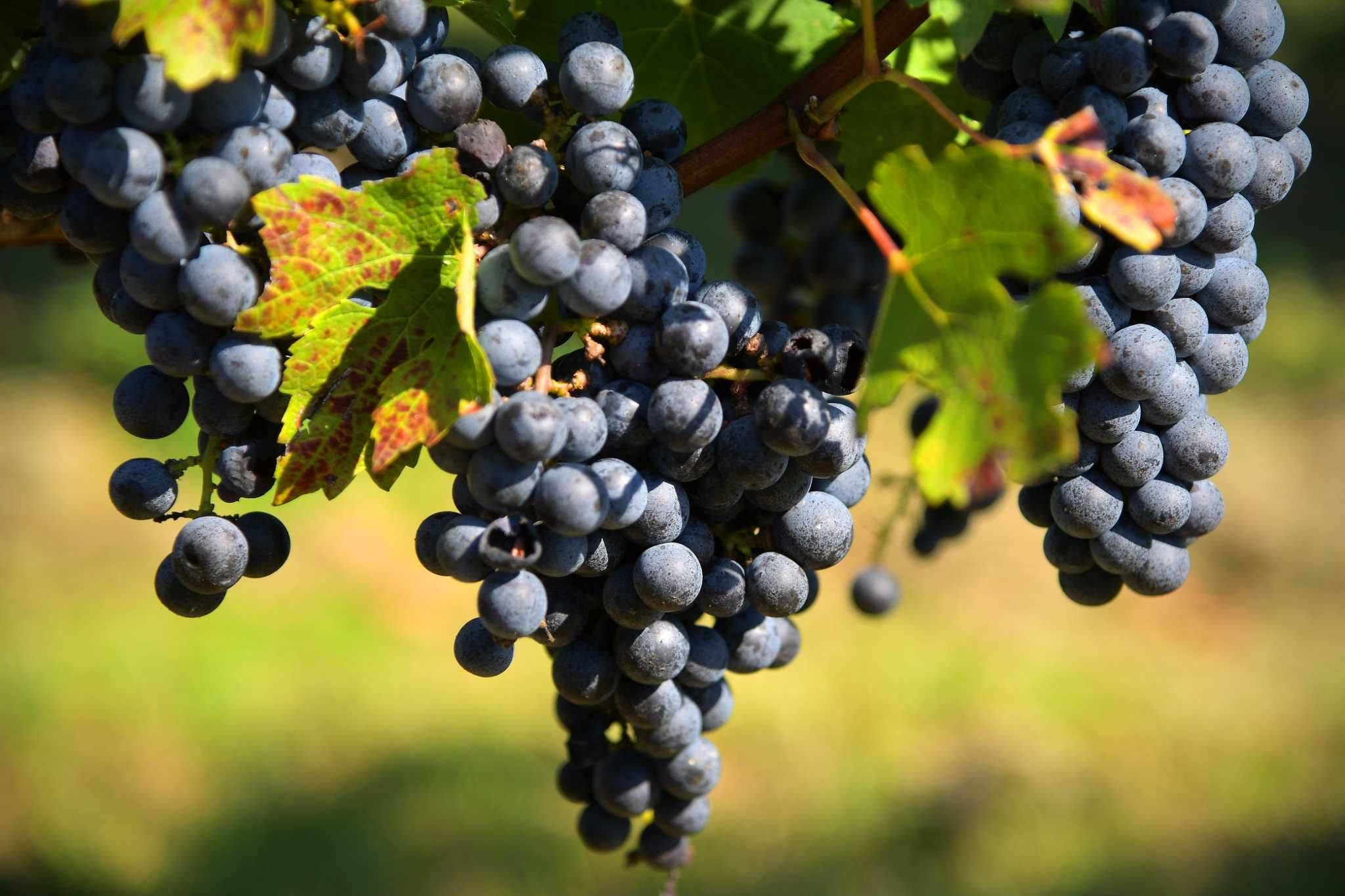 Вино шираз (сира)- описание, история, страны производители