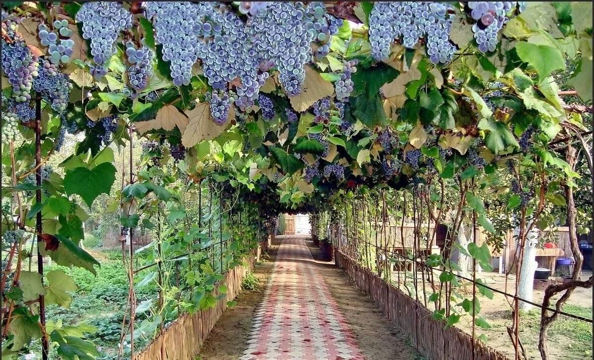Как размножить виноград, все способы размножения летом (зелеными побегами, семенами и другие)