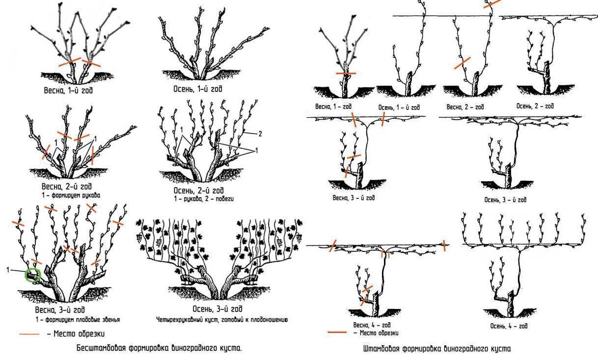 Виноград изабелла: описание сорта