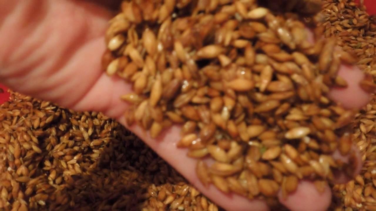 Домашнее пиво из ячменя: простые рецепты для начинающих. как прорастить ячмень?   про самогон и другие напитки ?   яндекс дзен