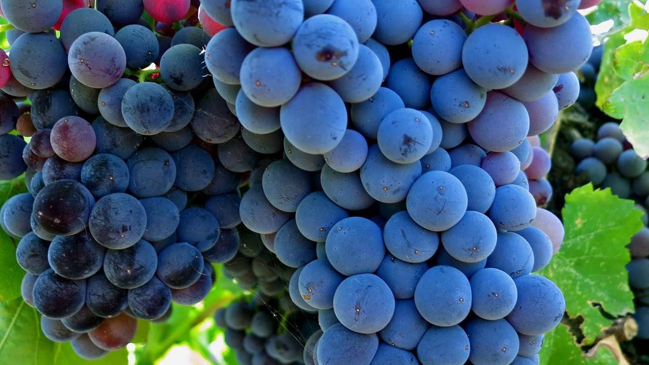 Сорта винограда по алфавиту, сорта винограда с фото и описанием, каталог