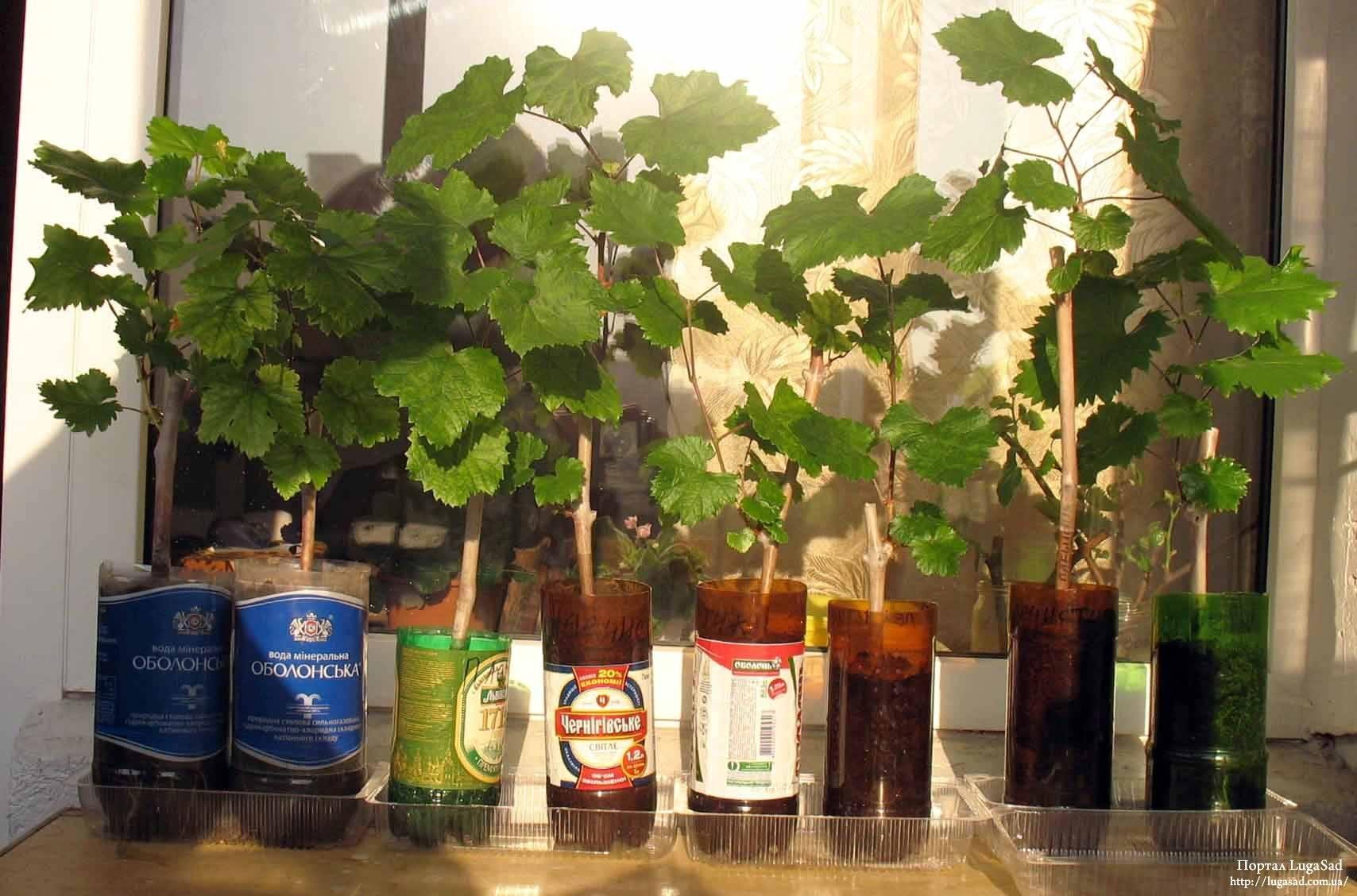 Виноград в первый год выращивания – советы по правильной посадке и уходу | в саду (огород.ru)