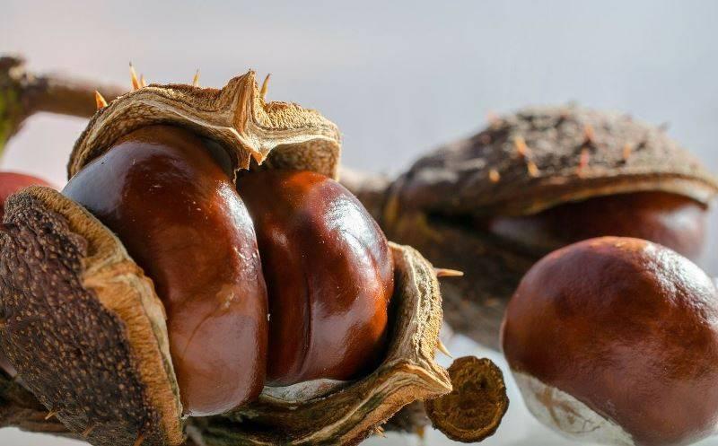 Лечебные свойства настойки конского каштана, как ее приготовить