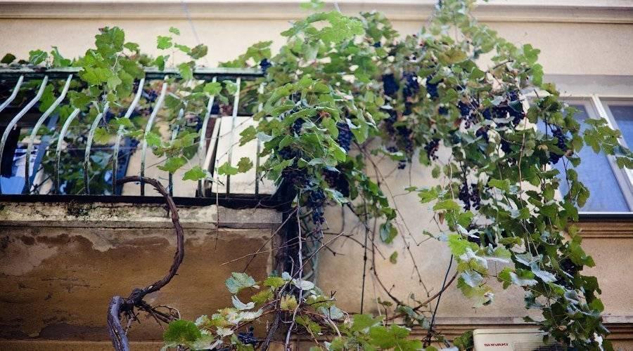 Саженцы винограда: как вырастить чубуки в домашних условиях, хранение и укоренение