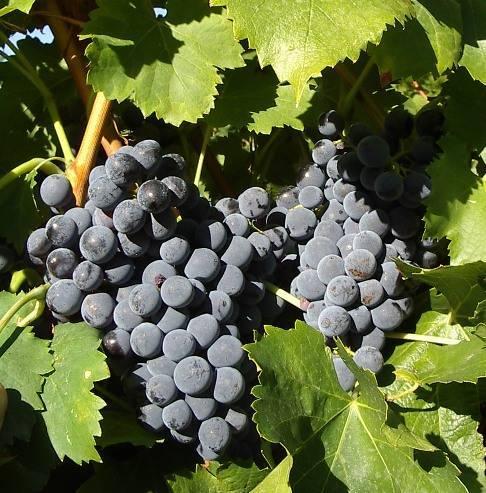 Гарнача: сорт винограда гренаш, его описание, урожайность и характеристика вкусовых качеств вина из этого сорта