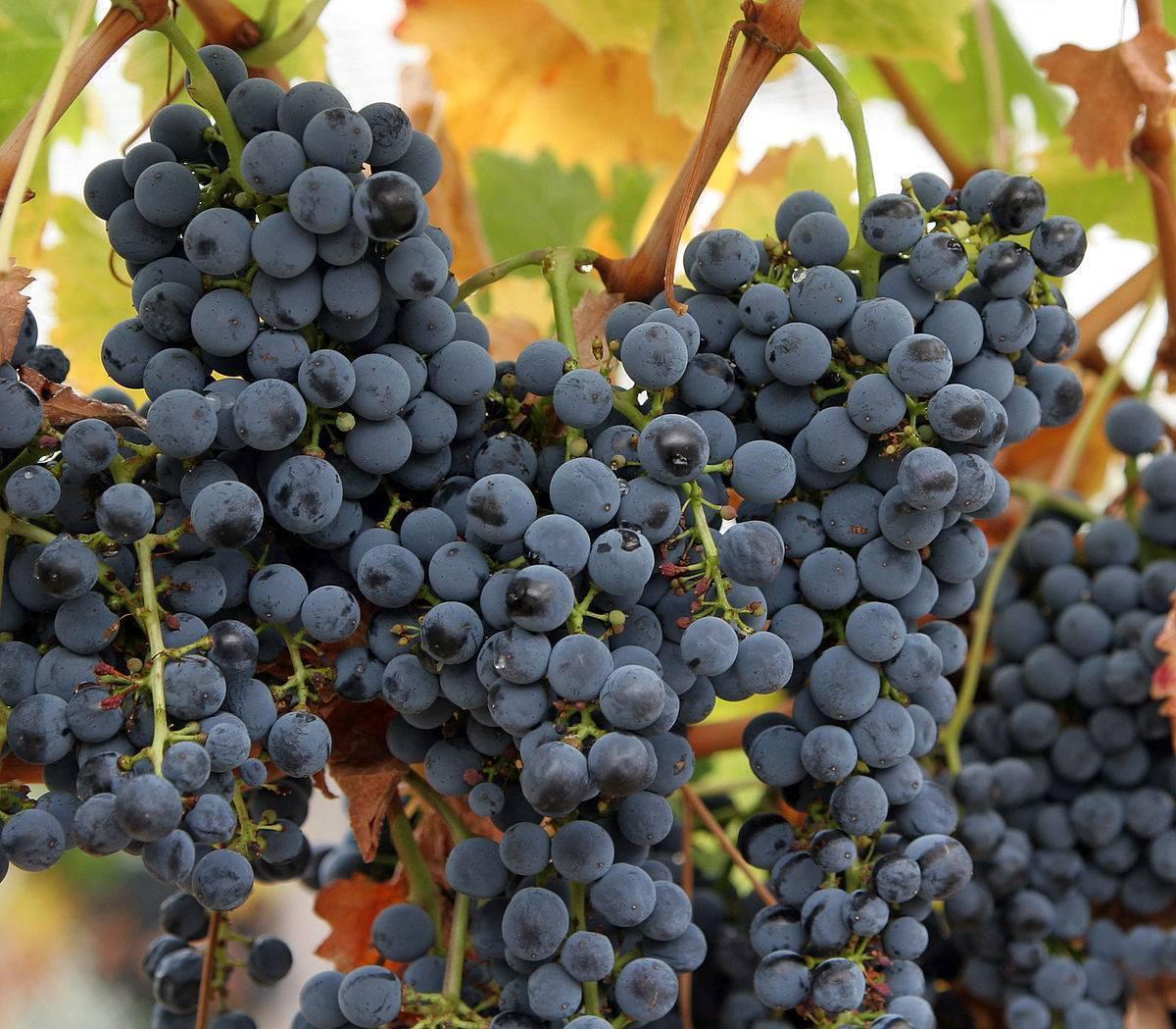 Домашнее виноделие – сорта винограда, оборудование, рецепты, этапы производства   в саду (огород.ru)