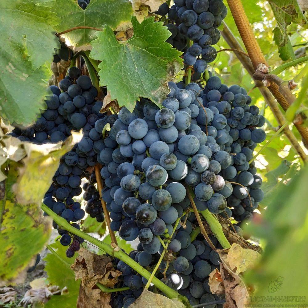 Вино сорта мерло — какие вина выпускаются под этой маркой