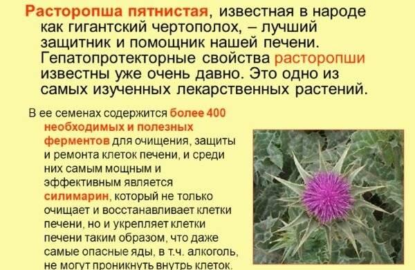 """""""лечебные свойства расторопши, как принимать внутрь и наличие противопоказаний"""""""