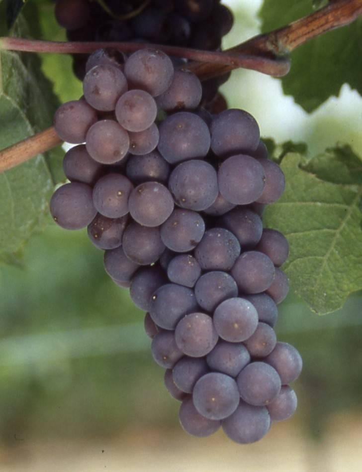 Вино пино нуар (pinot noir): описание, цена, сорта винограда, как правильно выбрать и пить | mosspravki.ru