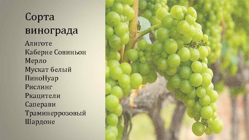 Вино шардоне: описание, производители, правила потребления.