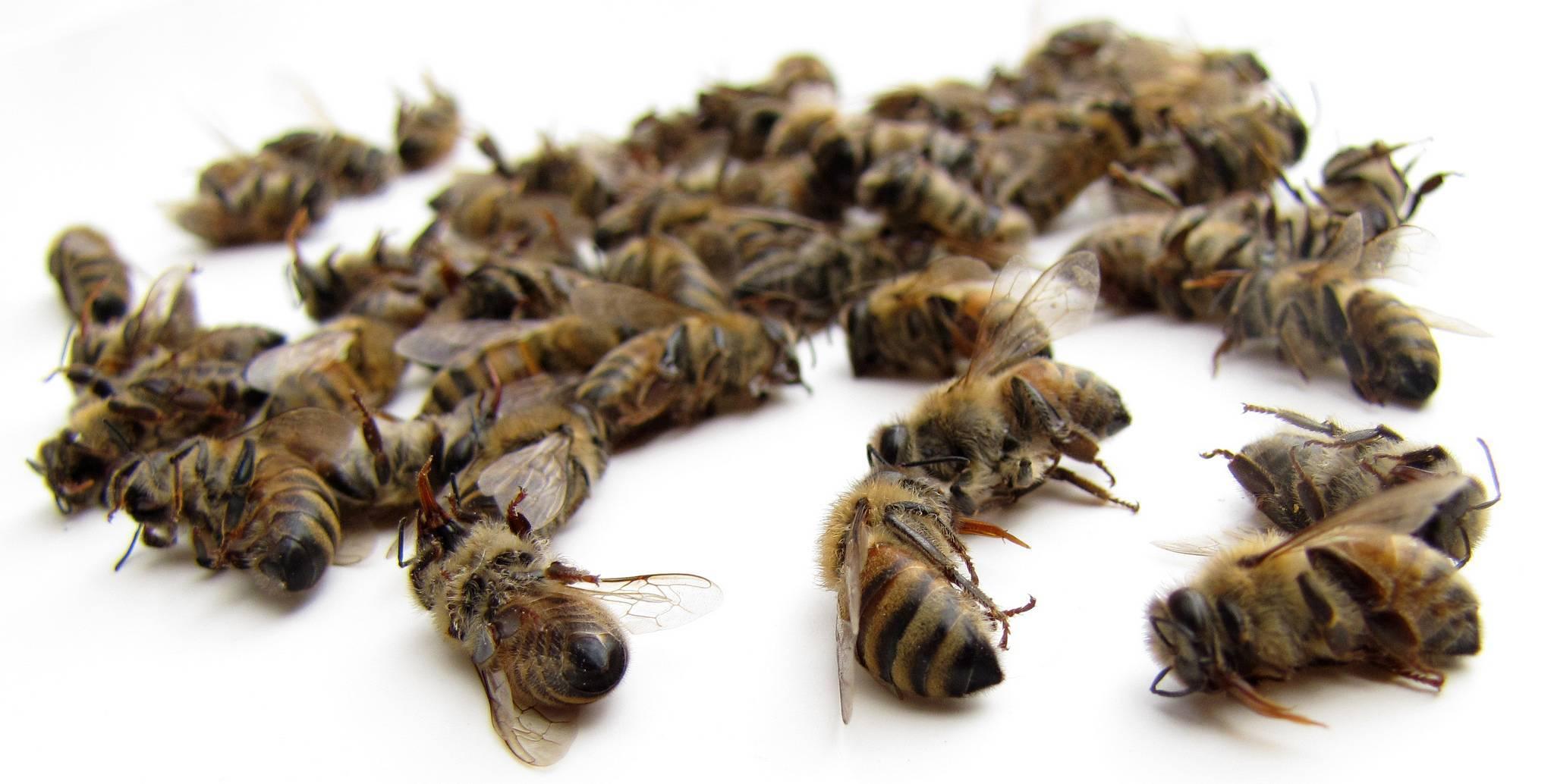 Пчелиный подмор: лечебная сила, как принимать, рецепты