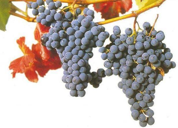 Сорта винограда— их характеристики и описание