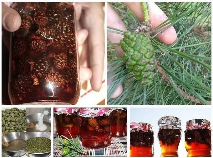 Настойка на водке из сосновых шишек: лечебные свойства, рецепты